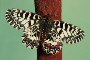 Zerynthia polyxena by VeVe-350Z
