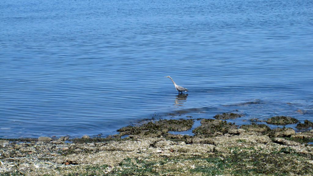 A Great Blue Heron in Tacoma by videodude1961