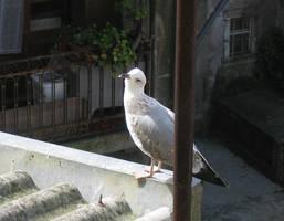 Curious Sea Gull