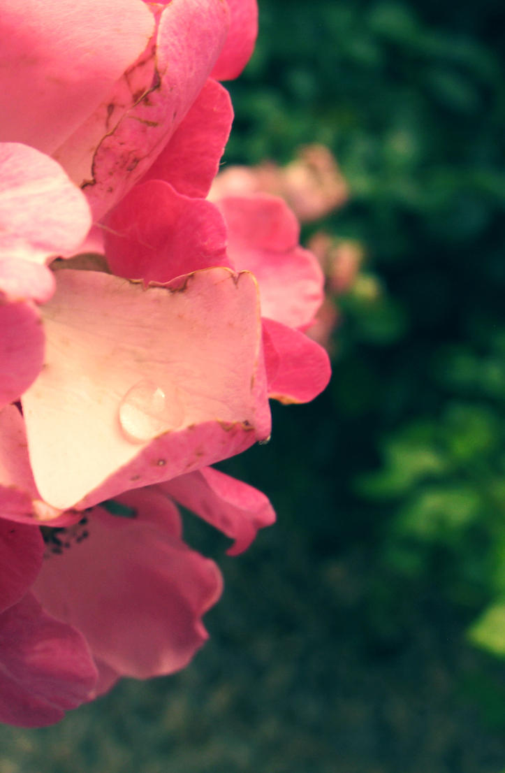 Rose teardrop. by MireiaSalvado