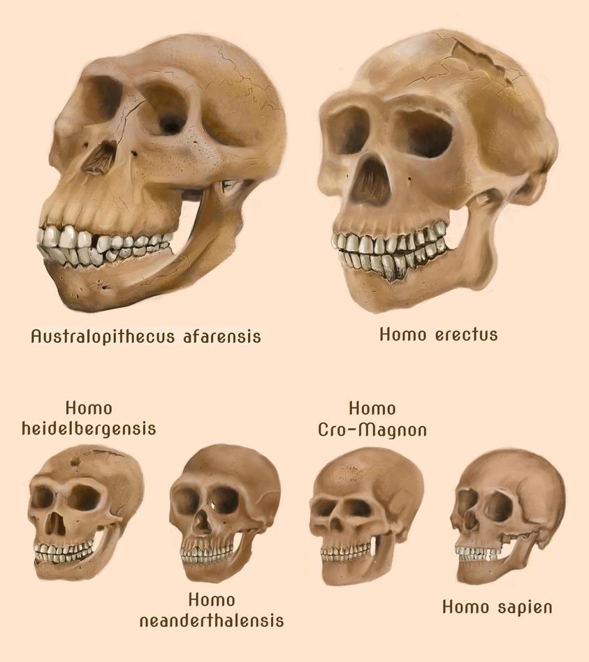Human evolution - photo#14