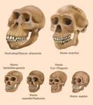 Human evolution skulls