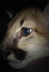 Cougar Boy Close-Up