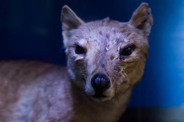 Thylacine Specimen