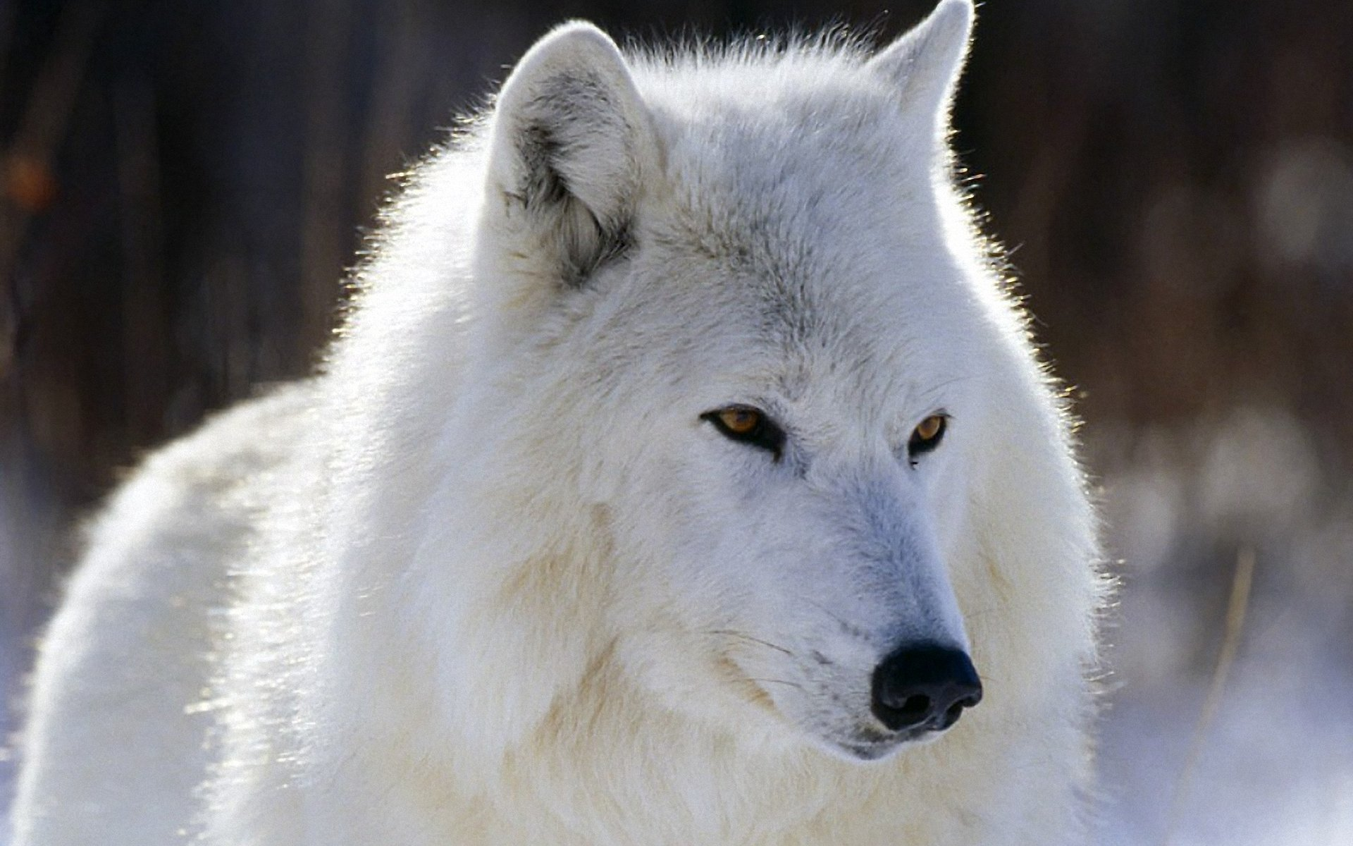 Anthro Arctic Wolf White Wolf by Siren1