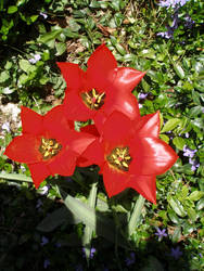 Dwarf tulips in Spring!