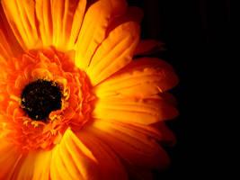 Orange Gerbera by OrangeGirl69