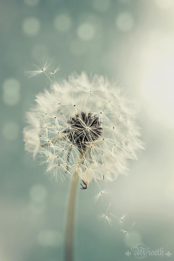 dandelion II by MioethV