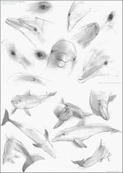 Bottlenose Dolphin Studies by Liris-san