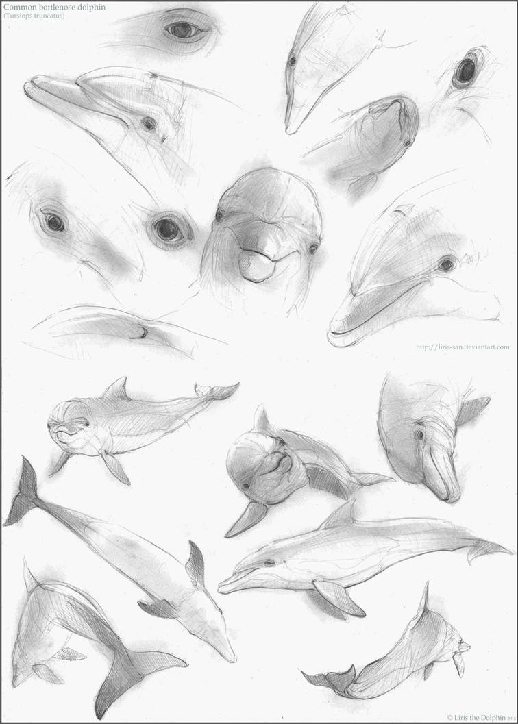 Bottlenose Dolphin Studies by Liris-san on DeviantArt