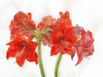 Hippeastrum Flowering by Liris-san