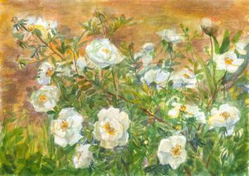 White Rosehip