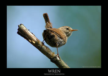 Wren.1 by THEDOC4