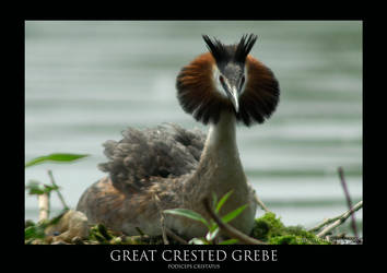 Great Crested Grebe.2 by THEDOC4