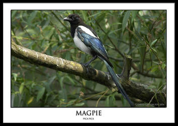 Magpie by THEDOC4