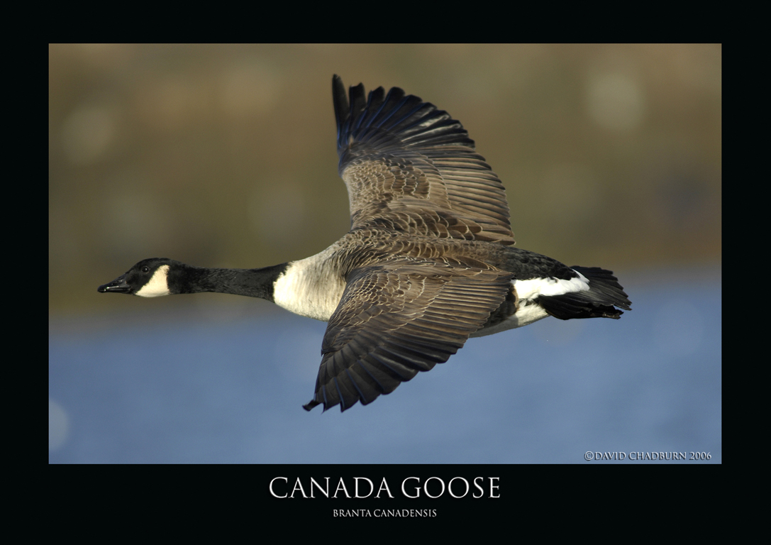 Canada goose.2 by THEDOC4