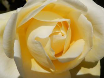 Cream rose bud