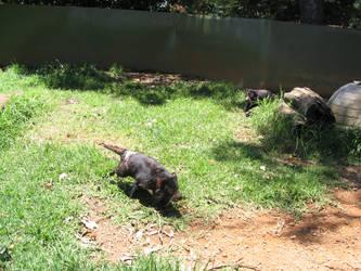Tasmanian Devils by snowcone666