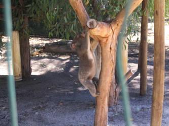 Climbing Koala by snowcone666