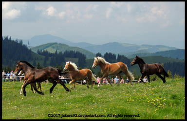 Young Noriker and Haflinger Stallions