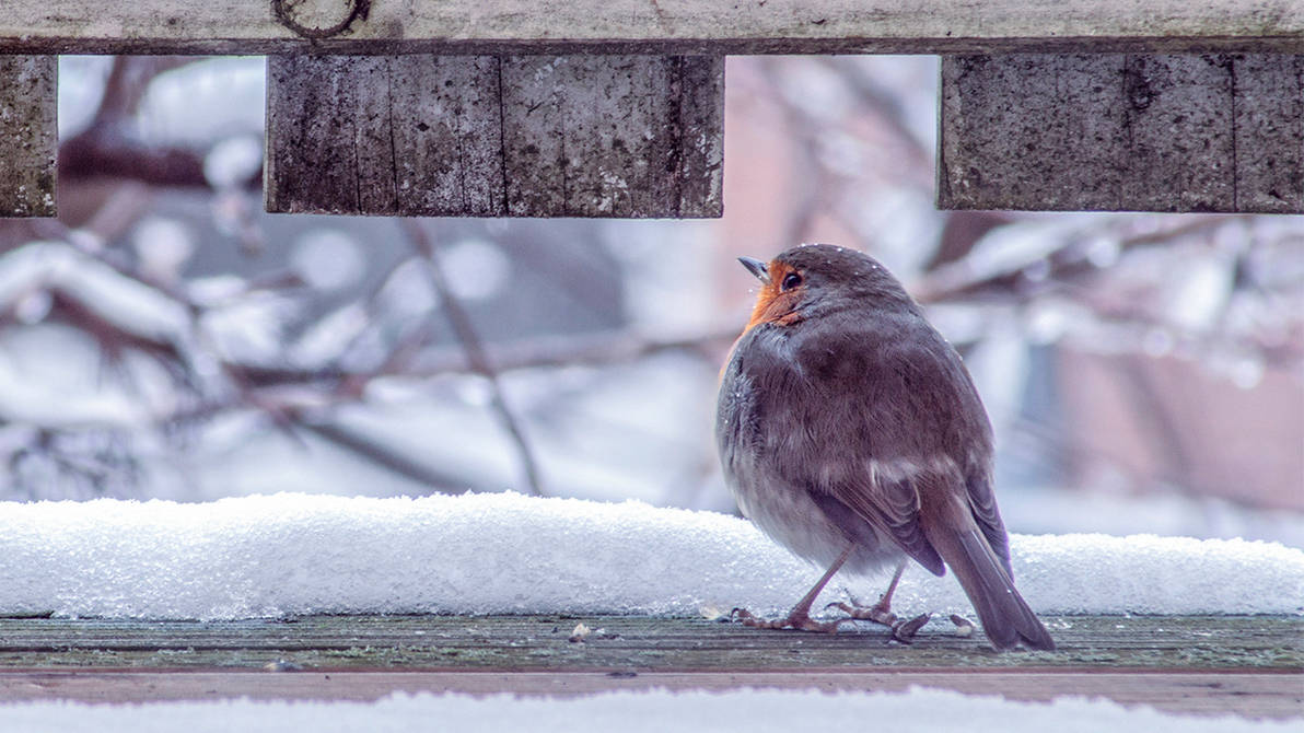 Redbreast in the morning by JonDae