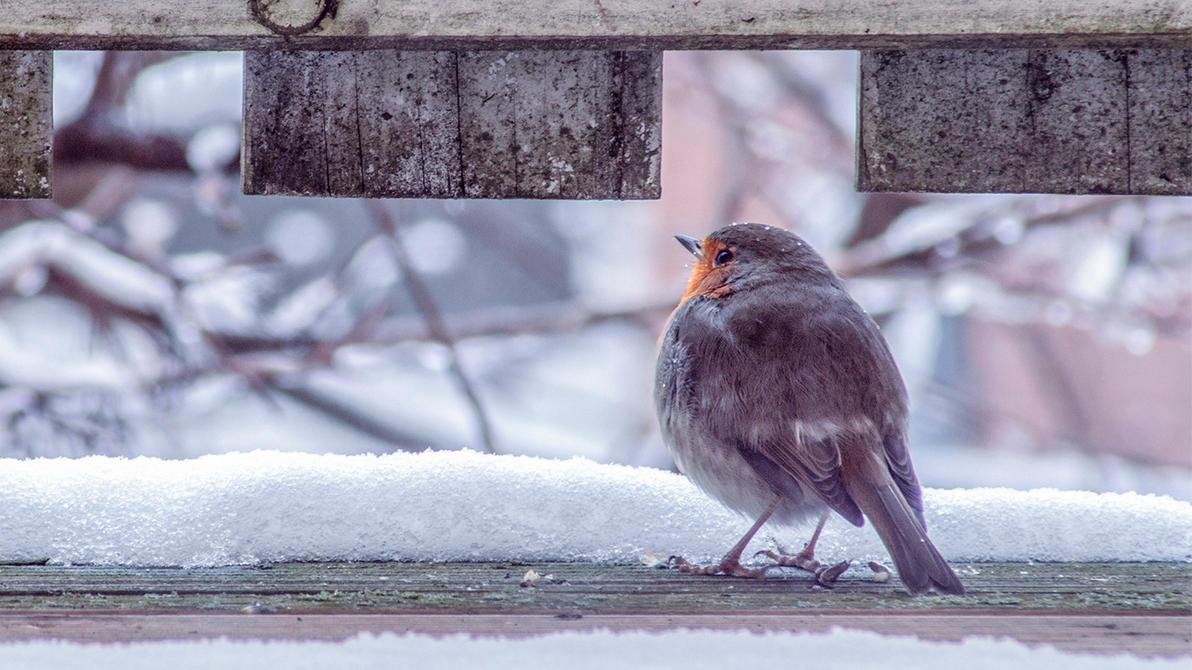 Redbreast in the morning by Jonas-Daehnert