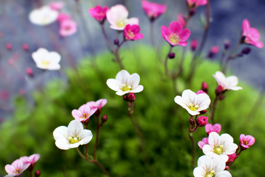عکس گلهای زیبای رز