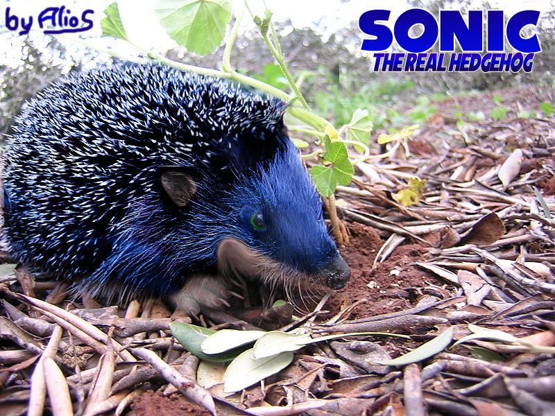 Sonic The Real Hedgehog By Alrow On Deviantart
