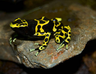 Yellow-banded Dart Frog by Phoenix-Cry