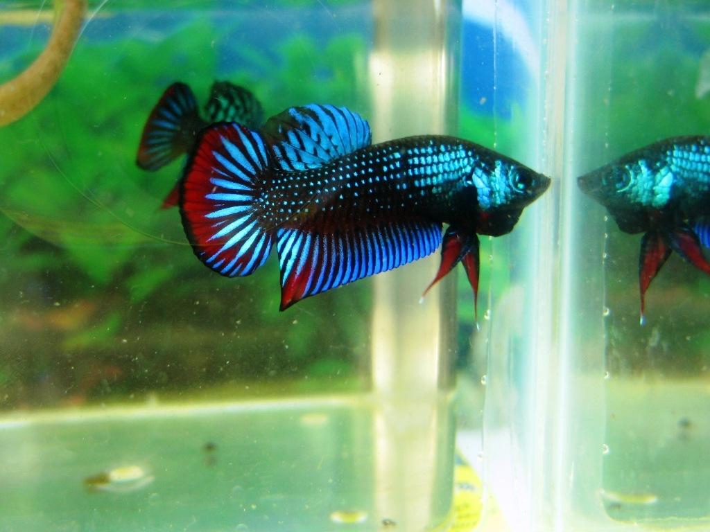 Betta imbellis by phoenix cry on deviantart for Wild betta fish