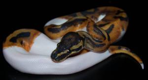 Piebald Ball Python III