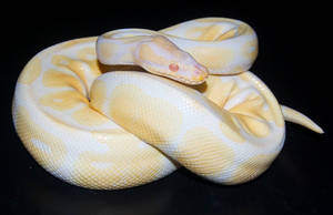 Albino Ball Python by Phoenix-Cry