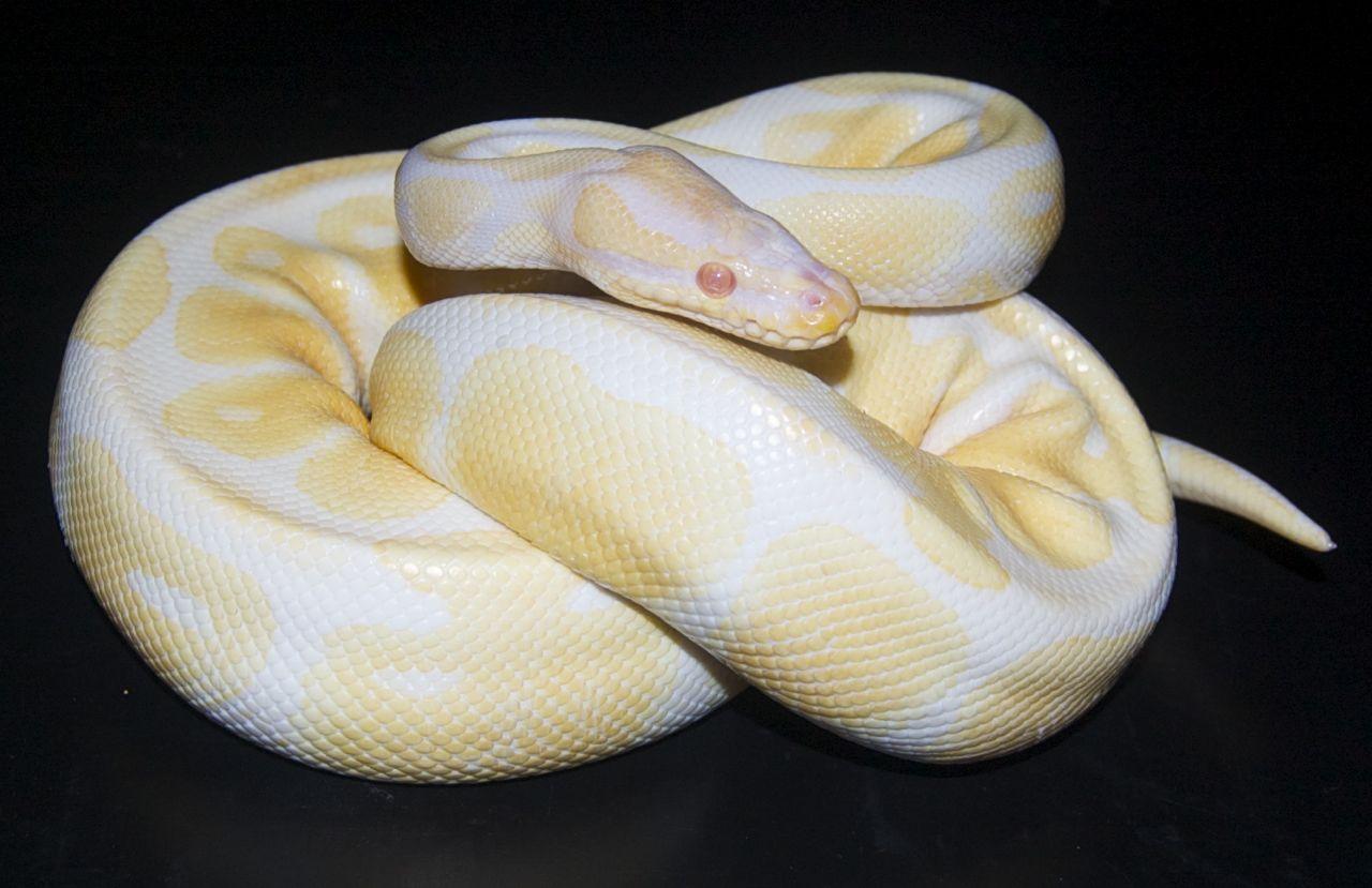 Lavender albino spider ball python
