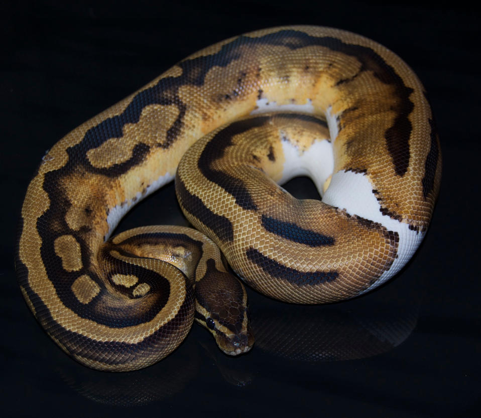 Female Piebald ball python by Phoenix-Cry on DeviantArt