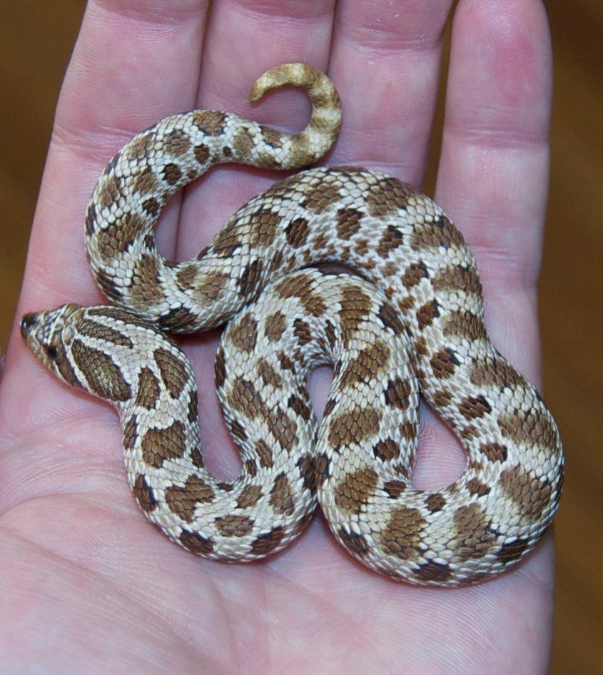 New hognose by Phoenix-Cry