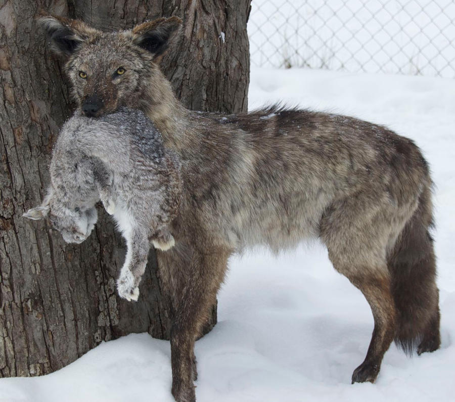 Silver Coyote With Rabbit By Phoenix Cry On Deviantart