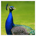 Portrait of a peacock 2 by DianePhotos