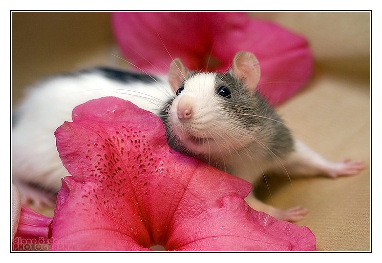 cute rat wallpaper art - photo #40