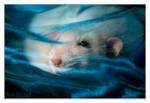 Belial 3 - Fancy rat
