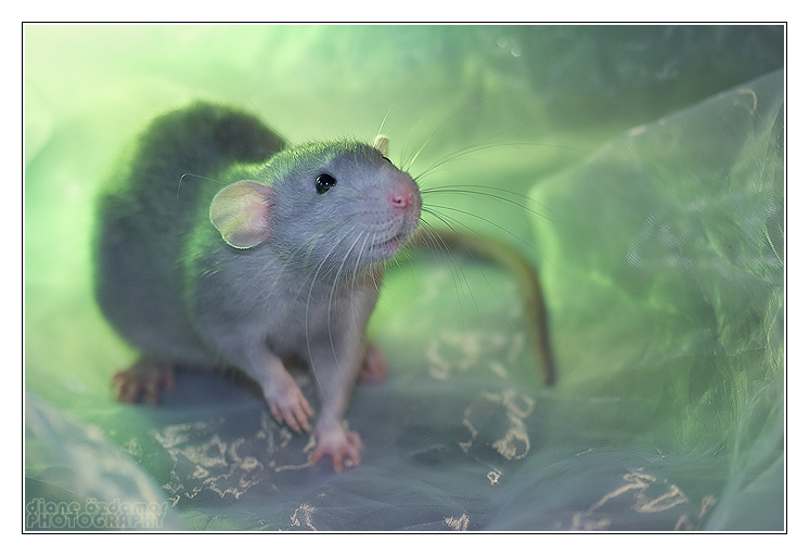 Aegir 1 - Fancy rat by DianePhotos
