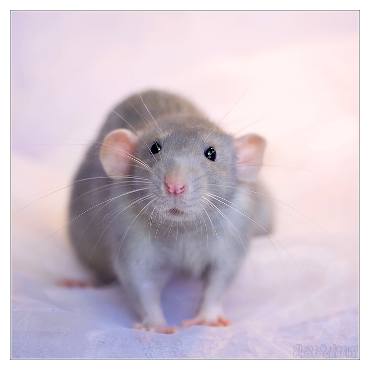 Aegir 6 - Fancy rat by DianePhotos