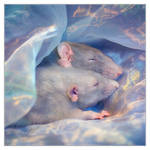 Dreaming - Fancy rats