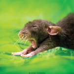 Arkanys 8 - Fancy rat by DianePhotos