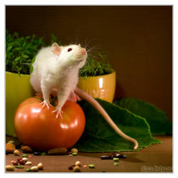 Lorich 8 - Fancy rat by DianePhotos