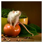 Lorich 8 - Fancy rat