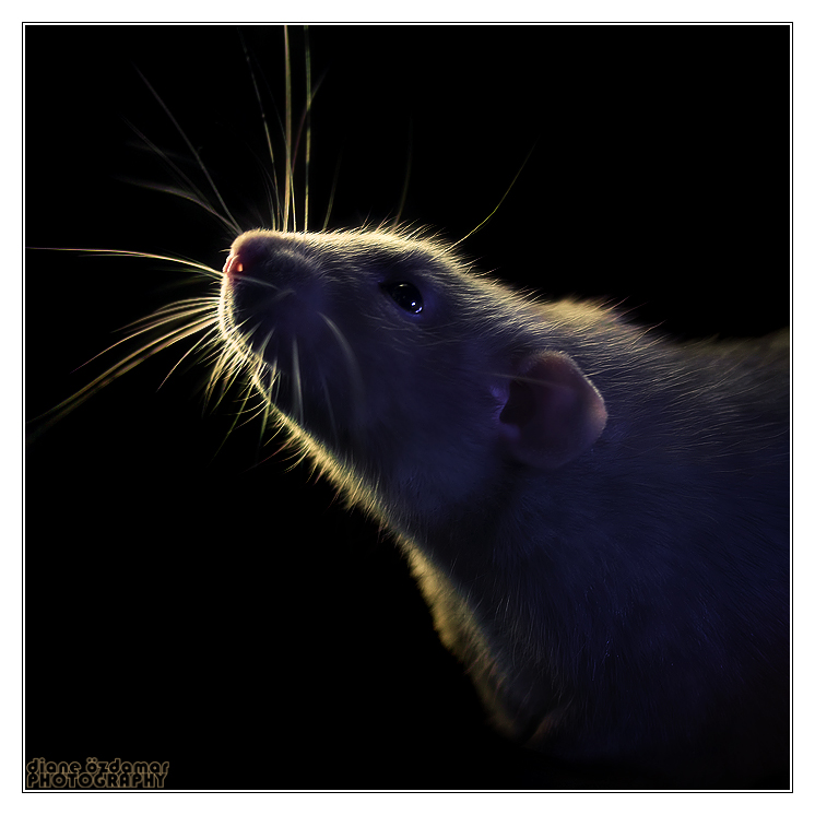 Aegir 13 - Fancy rat by DianePhotos