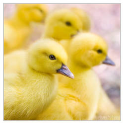 Fluffy ducklings overload