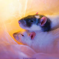 Lothar and Thjazi - Fancy rats by DianePhotos