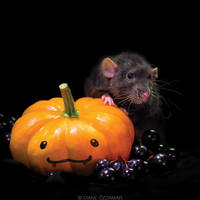 Arkanys 30 - Fancy rat by DianePhotos