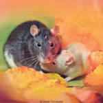 Motherly love - Fancy rats